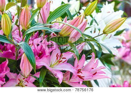Amaryllis Belladonnas Pink Flowers.
