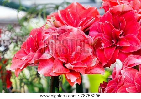 Red Amaryllis Flowers