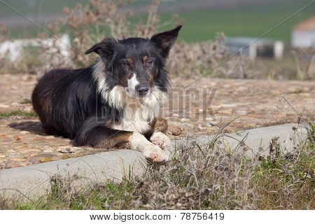 Laying Sheepdog Border Collie