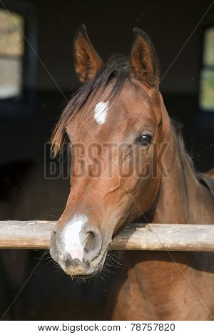Thoroughbred Chestnut Saddle Horse In The Barn