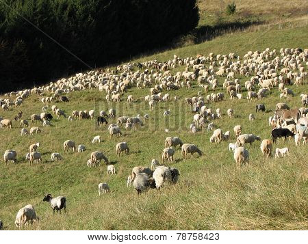 Flock Of Sheep Lambs And Goats Grazing  In The Mountains