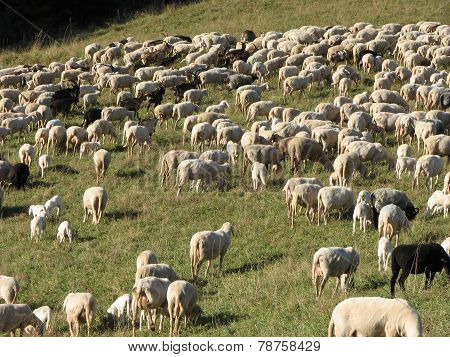 Immense Flock Of Sheep Lambs And Goats Grazing  In The Mountains