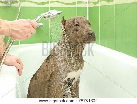 Pitbull puppy is bathed in a shower