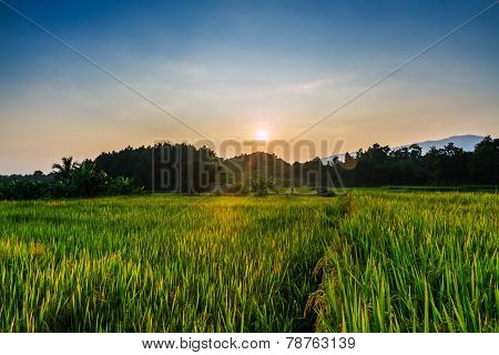 Landscape Evening Paddy Field