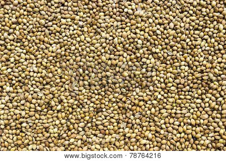 coriander seeds background