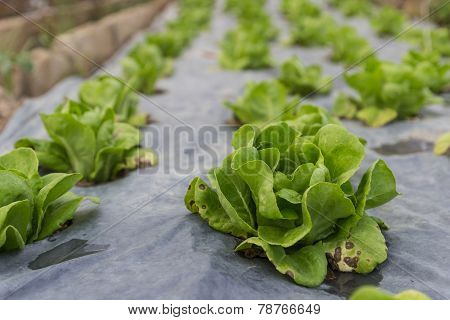 Butterhead Lettuce Growing In The Farm