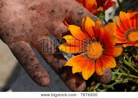 Orange Flower In Garden In Dirty Hand