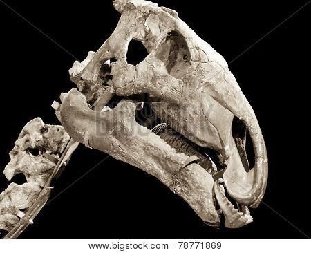 Dinosaur Skeleton - Probactrosaurus