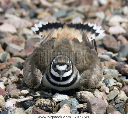 Nesting Killdeer