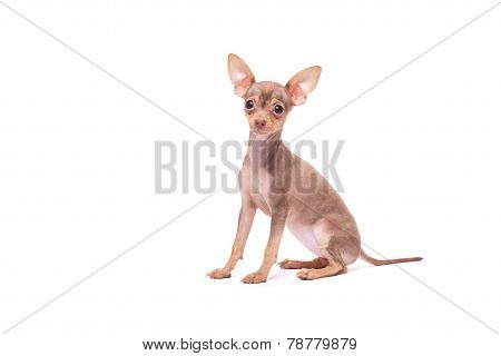 Puppy dog Russian Toy Terrier isolated on white