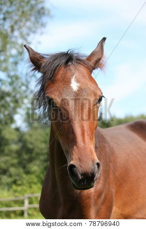 Cute Bay Foal Portraity In Summer