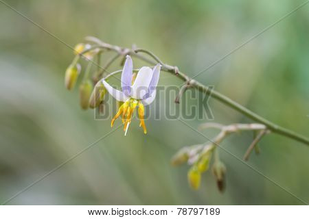 Flax lily flower