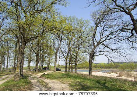 Oak grove on a river bank in spring