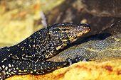 stock photo of monitor lizard  - Monitor lizard in the wild on the island of Sri Lanka - JPG