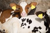 image of calves  - a young calf - JPG
