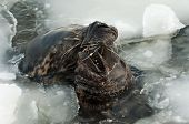 stock photo of sea lion  - Sea lions playing in icy water in winter  - JPG