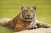 Постер, плакат: Adult Indochinese tiger at the waterside