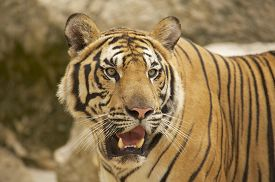 stock photo of tiger eye  - Adult Indochinese tiger - JPG