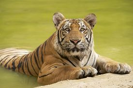 picture of tiger eye  - Adult Indochinese tiger at the waterside - JPG
