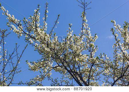 Flowering Branch Of Plum