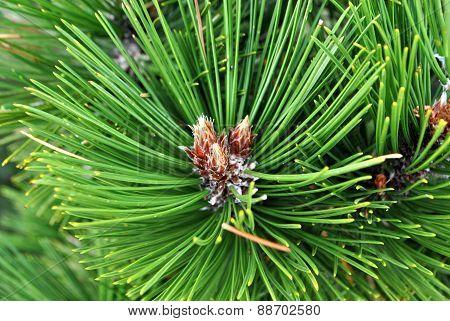 Branch of Mediterranean pine.