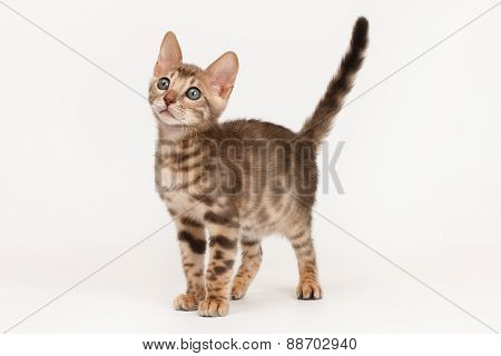 Blue Bengal Kitten