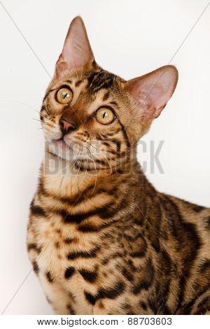 Bengal Cat