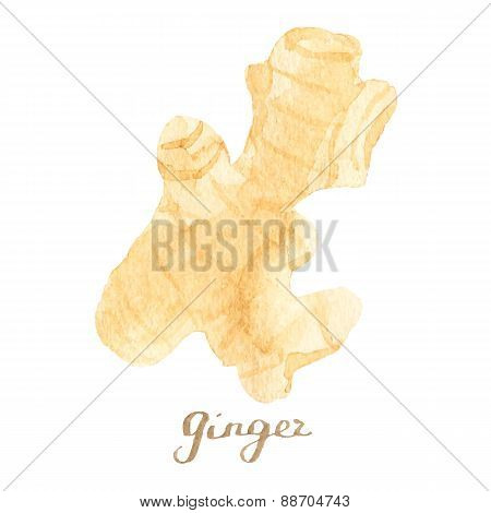 Watercolor ginger on the white background, aquarelle.  Vector illustration. Hand-drawn spice for mul