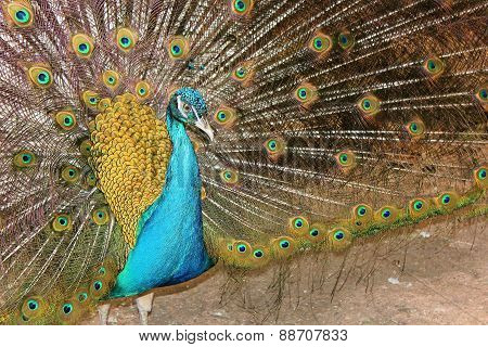 Portrait Of A Male Peacock