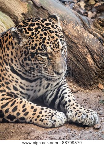 Jaguar In Angry Mood