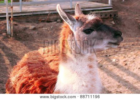 Lama guanicoe - Guanaco