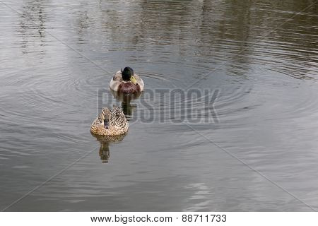 A Covey Of Wild Duck In The River