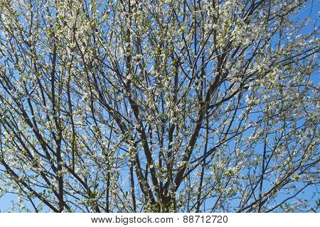 Apple tree in bloom, detail