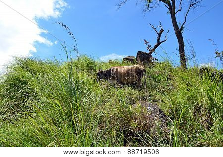 Cow Hiding In The Grass On The Hill And Blue Sky