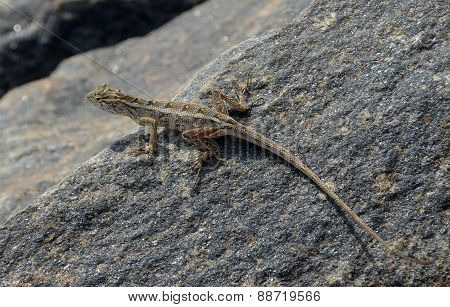 Long Tail Little Lizard On The Rock In Nature