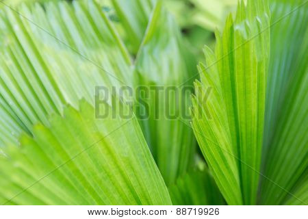 botany, nature, biology, eco and flora concept - green palm tree leaves
