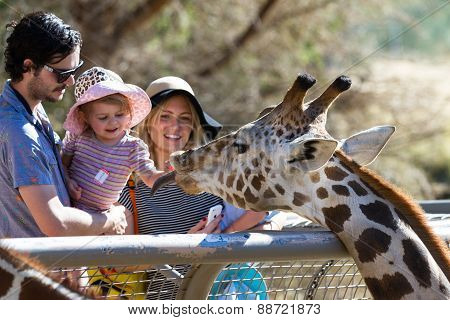 Hand Feeding A Giraffe