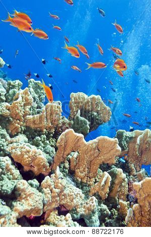 Coral Reef With Fishes Anthias, Underwater