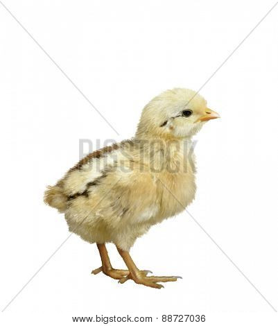 Digital Painting Of Little Chicken On White Background