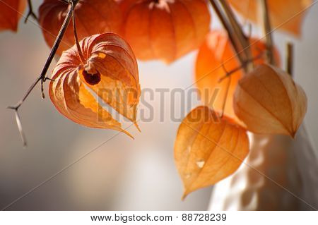 Closeup Of Delicate Physalis Flowers In White Vase