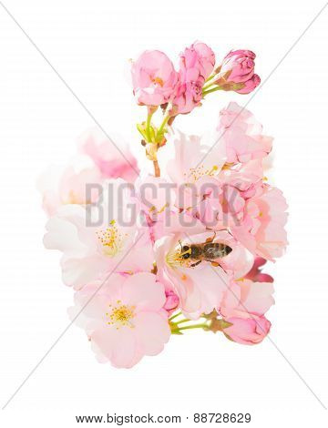 Isolated Bunch Spring Blossom Pink Flowers With Honeybee Obtaining Nectar