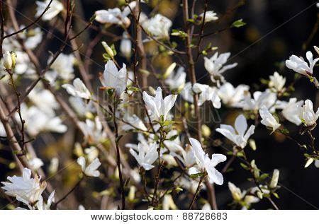 Blooming White Magnolia Flowers. Tulipe Tree