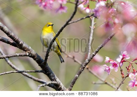 Oriental White-eye bird standing on a cherish tree branch
