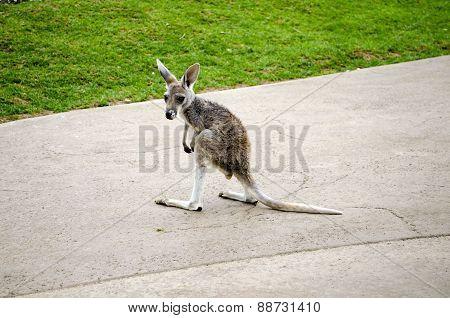 baby kangaroo standing