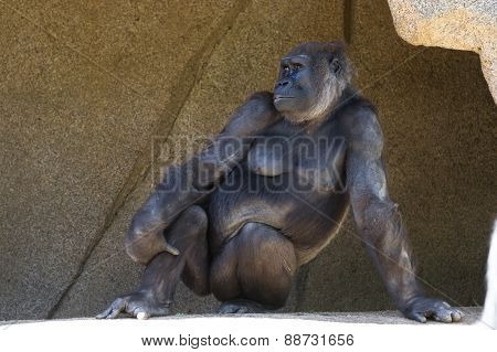Western Gorilla Posing