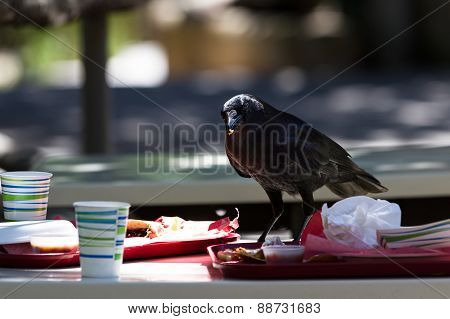 Crow With Leftover Lunch