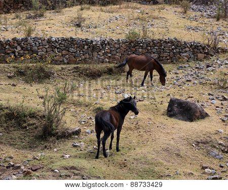 Horses in Cordiliera Huayhuash, Peru, South America