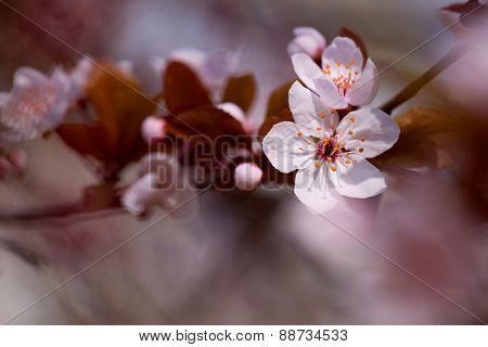 white cherry flowers in spring