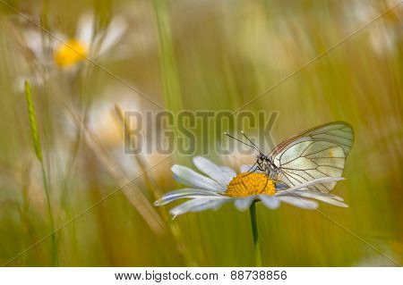 Black Veined White In Grass Field