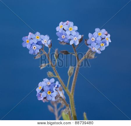 Dainty Forget-me-not flowers against blue background